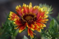 Fiamme dell'fiori Fotografia Stock