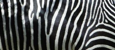 Fianco della zebra Fotografie Stock