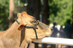 Fiar Heifer Stock Photography