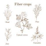 Fiber crops - cotton, sisal, flax, jute, cannabis Stock Photos