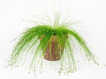Fiber Optic Grass, Live Wire. Isolepis cernua, or more commonly known as Fiber Optic Grass, is in the sedge family having long, willowy leaves with silvery-white Royalty Free Stock Photo