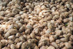Fiber of Toddy palm Royalty Free Stock Photo