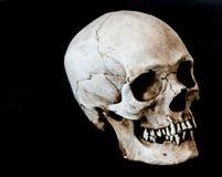 Human skull facing 45 degrees right. Fiberglass human skull facing 45 degrees right with a black background Royalty Free Stock Photo