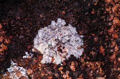 Fibers of white mold fungus on dirty ground royalty free stock images