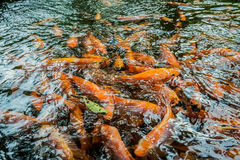 Fibra de coco ou carpa alaranjada na lagoa Fotografia de Stock Royalty Free