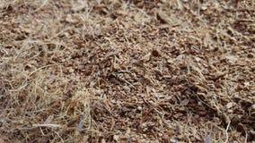 A fibra de coco seca do coco gerencie na tabela vídeos de arquivo