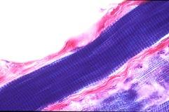 Fibra de músculo estriado fotografia de stock royalty free