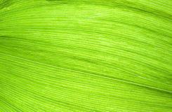 Fibras verdes de la hoja Fotos de archivo