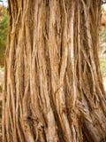 Fibre asciutte di vecchia corteccia di albero in Bryce Canyon Fotografia Stock