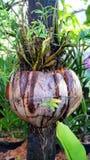 Fibre de noix de coco mûre Images stock