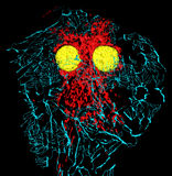 Fibroblast cell Stock Photo