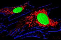 Fibroblast cells Stock Image