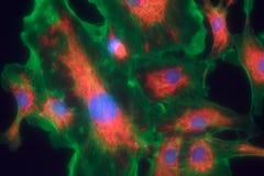 Fibroblast cells mpressionistic Stock Image