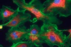 Fibroblast cells mpressionistic Royalty Free Stock Photos