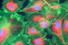 Fibroblast cells mpressionistic Stock Photography