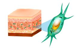 Fibroblast and skin structure. Fibroblast and Human skin structure Muscles, Fat cell, Hyaluronic acid, Elastin, Collagen, Fibroblast stock illustration