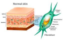 Fibroblasto e struttura umana della pelle illustrazione vettoriale