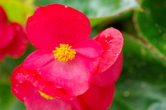 Fibrous begonia Stock Photo