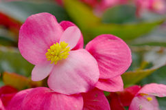 Fibrous begonia Royalty Free Stock Photo