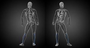 Fibula bone. 3d rendering  illustration of the fibula bone Stock Photography