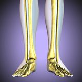 3D illustration of Tibia - Part of Human Skeleton. The fibula or calf bone is a leg bone located on the lateral side of the tibia, with which it is connected Stock Image