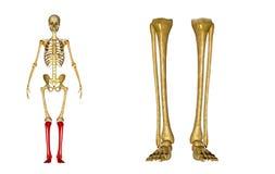 Fibula en scheenbeen, Enkel en voet royalty-vrije stock foto's