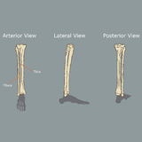 Fibula i piszczeli anatomia Obraz Stock