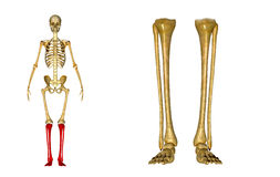 Fibula and tibia, Ankle and foot. The fibula is the long, thin and lateral bone of the lower leg. It runs parallel to the tibia, or shin bone, and plays a royalty free stock photos