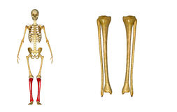 Fibula and tibia. The fibula is the long, thin and lateral bone of the lower leg. It runs parallel to the tibia, or shin bone, and plays a significant role in stock photos