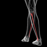 Fibular bone Stock Photos
