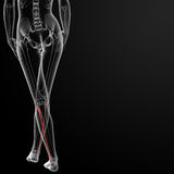 Fibular bone Royalty Free Stock Photo