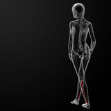 Fibular bone Royalty Free Stock Photos