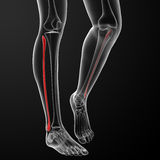 Fibular bone Royalty Free Stock Images
