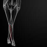 Fibular bone Royalty Free Stock Photography
