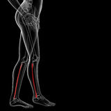 Fibular bone Stock Image