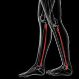 Fibular bone Royalty Free Stock Image
