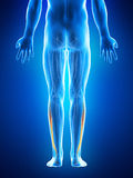 The fibularis longus Stock Photography