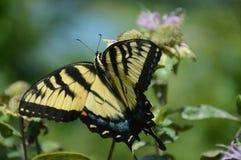 Ficando Tiger Swallowtail Butterfly fotografia de stock