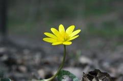 Ficaria Verna黄色在草掩藏的秀丽花 库存照片