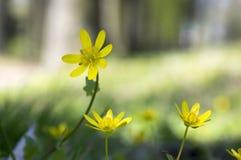 Ficaria Verna黄色在草掩藏的秀丽花 免版税库存图片