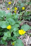 Ficaria verna. Is a forest plant with glossy yellow flowers and leathery leaves Stock Images