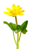 Ficaria verna yellow spring flowers isolated on white background Stock Photo