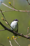 Ficedula hypoleuca. Flycatcher in the spring on a tree branch (Ficedula hypoleuca Royalty Free Stock Image