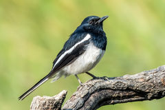 The Ficedula westermanni bird. A Royal Blue and White colour bird Little Pied Flycatcher Ficedula westermanni on perch with soft green background in Macao, China Royalty Free Stock Photo