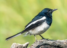 The Ficedula westermanni bird. A Royal Blue and White colour bird Little Pied Flycatcher Ficedula westermanni on perch with soft green background in Macao, China Stock Image