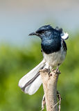 The Ficedula westermanni bird Royalty Free Stock Image
