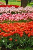 Fichero del tulipán Foto de archivo libre de regalías