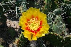 Fichi d'India del cactus dell'opunzia con il fiore giallo Fotografia Stock