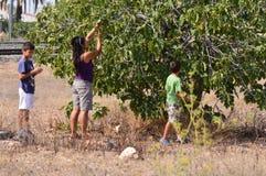 Fichi di raccolto Fotografie Stock Libere da Diritti