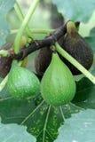Fichi italiani di maturazione ((Ficus carica) fotografia stock